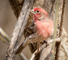 Male House Finch (tresed47) Tags: 2019 201903mar 20190311chestercountybirds birds canon7dmkii chestercounty content finch folder home housefinch march pennsylvania peterscamera petersphotos places season takenby us winter