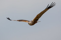 Marsh Harrier (PINNACLE PHOTO) Tags: marshharrier bird flight flying male stare kent martinbillard canon