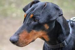 doberman (nikola swann) Tags: dog doberman adeldam northyorkshire blackandtan