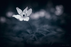 Woodland Fashion (shawn~white) Tags: monochrome 50mm anemonenemorosa canon6d macro nik woodanemone alteredstate bokeh dark dreamy filmlook floral flower forest magical moody mystical spiritual woodland woods ©shawnwhite