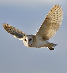 Barn Owl (Tyto alba) (Fly~catcher) Tags: barn owl tyto alba bird prey
