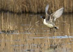 pintail take off (alderson.yvonne) Tags: bird take off rspb salthome duck pond lake nikon d7200