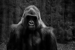Animal Portraits - The Boss (KWPashuk) Tags: sony alpha a6000 55210mm lightroom luminar luminar2018 luminar3 kwpashuk kevinpashuk gorilla male animal portait wildlife nature ape primate toronto zoo ontario canada torontozoo mono monochrome