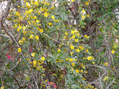 Patch Of Carolina Jessamine. (dccradio) Tags: lumberton nc northcarolina robesoncounty outdoor outdoors nature natural greenery foliage plant flower floral flowers yellow branch branches tree trees treebranch treebranches treelimb treelimbs carolinajessamine march spring springtime evening thursday thursdayevening goodevening nikon coolpix l340 bridgecamera