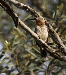 Rufous-necked Wryneck (Jynx ruficollis)-6749 (Dave Krueper) Tags: africa aves bird birds landbird picidae piciformes rnwr southafrica woodpecker wryneck