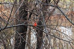 IMG_2814 (Jeffrey Terranova) Tags: canon rebelt6 avenel nj newjersey backyard wildlife cardinal