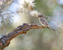 Phoebe of the East (pcsnowman) Tags: bird eastern phoebe texas daytime outdoor nature nikon d500 tamron 150600mm