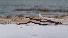 Snowy Owls of New Jersey | 2018 - 52 (RGL_Photography) Tags: beachowl birding birds birdsofprey birdwatching buboscandiacus longbeachisland mothernature nature newjersey nikonafs600mmf4gedvr nikond5 oceancounty ornithology owls raptors snowyowl snowys us unitedstates wildlife wildlifephotography ©2018rglphotography