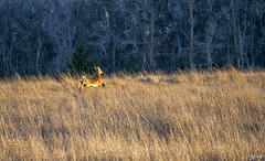 Deer Taking Off (J K German) Tags: deer nature grass trees oklahoma prairie