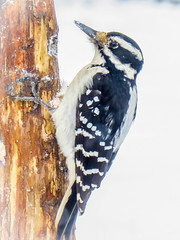 Lady Hairy Woodpecker (Shannonsong) Tags: hairywoodpecker bird snow woodpecker carpenterbird nature winterscene leuconotopicusvillosus picidae