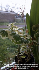 Variegated Geranium (Green & white) with flower buds in bedroom window 20th March 2019 (D@viD_2.011) Tags: variegated geranium green white with flower buds bedroom window 20th march 2019