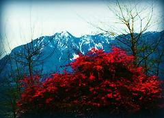 January Colour Splash (FernShade) Tags: vancouverbc stanleyparkseawall northshoremountains crimsonleaves crimsonleafedshrub redleafedshrub nature outdoor trees mountains scenery scenic