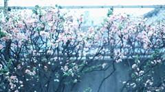 惚け (atacamaki) Tags: xt2 23mm f14 xf fujifilm jpeg撮って出し atacamaki japan tokyo ogikubo ボケ bokeh flower day life ボケの花 東京 荻窪 日本 今日のおはな