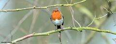 Robin J78A0153 (M0JRA) Tags: birds humber ponds lakes people trees fields walks farms traylers robins