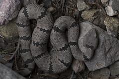 Banded Rock Rattlesnake (DevinBergquist) Tags: bandedrockrattlesnake rockrattlesnake rattlesnake crotaluslepidus crotaluslepidusklauberi cascabel viboradecascabel snake herping fieldherping wildlife nature