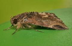 Pale sooty moth Ercheia sp Catocalinae Erebidae Airlie Beach rainforest P1480781 (Steve & Alison1) Tags: pale sooty moth ercheia sp catocalinae erebidae airlie beach rainforest
