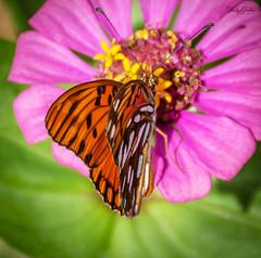Butterfly (vickyouten) Tags: butterfly butterflies orangebutterfly nature wildlife americanwildlife wildlifephotography nikon nikond7200 nikonphotography nikkor55300mm falmouth jamaica vickyouten