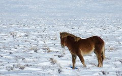 His First Winter (prairiegirrl) Tags: wildhorses mustangs equine horse wildlife reddesert keepwildhorseswild wyoming