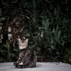 Starbuck (HRLM&TS Photography) Tags: snow k1markii pentax poes kitten cat