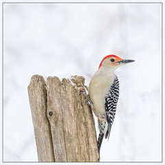 Red-Bellied Woodpecker (hey its k) Tags: 2019 arboretum birds cootesparadise nature rbg redbelliedwoodpecker snow winter woodpecker hamilton ontario canada ca imga0064e canon5dmarkiv tamron 150600mm