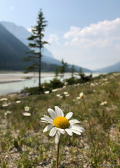 Peace Within (Brennan Wille) Tags: flower wildflower canada summer 2018 britishcolumbia rockymountains rockies valley nationalpark meadow grass river mountain glacier west focus depth peaceful morning nature brennanwille iphoneography iphone8 landscape lightroom horizon perspective haze field transcanada highway yoho kickinghorse