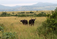 African Buffalo (douwesvincent) Tags: nature uganda oeganda africa world earth eco natural outdoor safari wild open holiday trip birding explore green flora fauna life