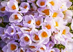 Hurra der Frühling ist da (KaAuenwasser) Tags: krokusse krokus pflanze frühling 2019 blume zierblume blüte blüten bunt oben makro sony ilce7rm3 sonne licht