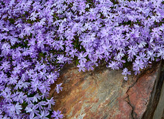 Flowers on stone (maytag97) Tags: maytag97 nikon d750 flower small lavender purple rock boulder delicate petite stone texture outdoor outside