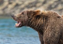 Coastal Brown Bear (m_Summers) Tags: 熊 oso grizzly northamerica nature animal भालू katmainationalpark медведь ursusarctos mcneilriverstategamesanctuaryandrefuge alaksa くま wildlife 곰 summer wild fishing bear fishingbear salmonrun bär brownbear mcneilriver kestrel oursbrun mcneil orso coastalbrownbear