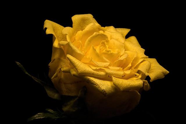 Обои цветок, фон, роза картинки на рабочий стол, раздел цветы - скачать