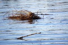 Rhein-Hochwasser - Rhine Flooding (hermann.kl) Tags: köln flittard cologne rhein rhine hochwasser flooding