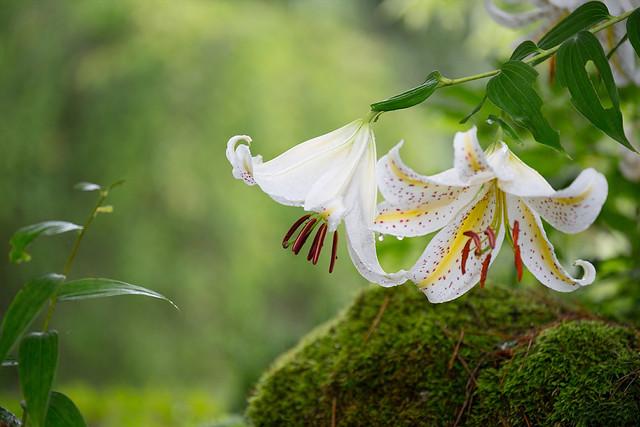 Обои макро, мох, лилия, лепестки картинки на рабочий стол, раздел цветы - скачать