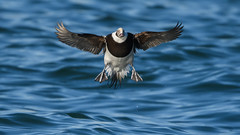 Long-tailed duck (JS_71) Tags: nature wildlife nikon photography outdoor 500mm bird new winter see natur pose moment outside animal flickr colour poland sunshine beak feather nikkor wildbirds planet global national wing eye water sea d500