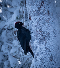 Black and White (MrBlackSun) Tags: blackwoodpecker black woodpecker blackpecker finland landscape nature bird birds birdlover birdlife wildlife birdlovers hideout nikon d850 nikond850