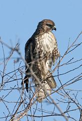 Red-tailed Hawk (Buteo jamaicensis) (Ron Wolf) Tags: accipitridae accipitriformes buteojamaicensis cosumnesriverpreserve redtailedhawk bird juvenile nature raptor wildlife california