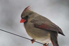 Mrs Cardinal out the kitchen window (karma (Karen)) Tags: baltimore maryland home backyard birds cardinal dof bokeh hbw hww topf25