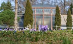 Noch sind sie geschlossen (KaAuenwasser) Tags: krokussr krokus pflanze knospen geschlossen blüte blüten pflanzen makro wiese rasen gras boden botanischergarten karlsruhe garten anlage park gewächshaus gebäude historisch alt hintergrund