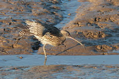 Curlew stretch (ctrolleneos) Tags: canon80d 100400 curlew wader norfolk thornhamoldharbour