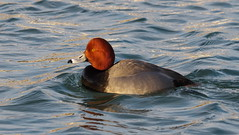 Redhead (Aythya americana) (Gavin Edmondstone) Tags: aythyaamericana aythya redhead duck male bird bronteharbour oakville ontario canada