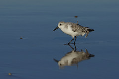 K32P0187c Sanderling, Titchwell Beach, November 2019 (bobchappell55) Tags: titchwell norfolk wild bird wildlife nature sanderling beach wader calidrisalba
