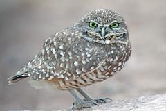Burrowing Owl (Alan Gutsell) Tags: burrowingowl burrowing owl raptor birdofprey salton sea salt water california bird birding alan wildlife nature