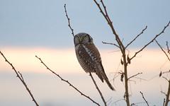 aIMG_9054aff (edpaul Photos) Tags: owls owl bcbirds habitat feathers nocturnal birdsofprey