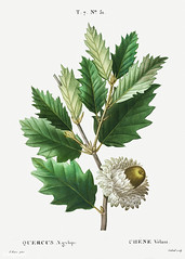 Valonia oak (Quercus aegylops) illustration from Traité des Arb (Free Public Domain Illustrations by rawpixel) Tags: freeimage pierre redoute redouté aegilops aegylops antique art arts botanical botany cc0 chénevélani creativecommons0 drawing element engraved engraving environment fineart flower graphic graphite historic historical history illustrated illustration leaf macrolepis name nature oak painting pierrejoseph pierrejosephredouté plant publicdomain quercus quercusmacrolepis quercusægylops retro sketch sketching traitédesarbresetarbustes tropical valonia valonianoak vintage