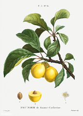Sainte Catherine's Plum illustration from Traité des Arbres et
