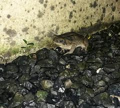 Home toad (dcdc887) Tags: ecuador animales animals rana frog sapo toad amphibian backyard
