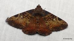 Moth, Metria bruma? Erebidae (Ecuador Megadiverso) Tags: andreaskay ecuador moth wildsumaco metriabruma erebidae
