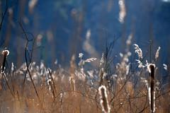 Basingstoke Canal Ash Vale 22 February 2019 005 (paul_appleyard) Tags: basingstoke canal ash vale february 2019 reeds grass sunlit