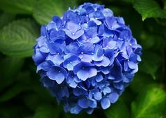 blue blooms (○ Hanna Lee ○) Tags: hydrangea hydrangeaflower flower flowerphotography flowerphotographer flowerphotographers artisticphotography artisticphotographer artisticphotographers fineartphotography fineartphotographer fineartphotographers artphotography artphotographer artphotographers