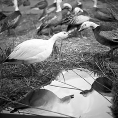geese (kaumpphoto) Tags: rolleiflex tlr 120 ilford bw black white diorama mirror reflection bellmuseum museum taxidermy feather foul