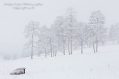 Hunkered Down (Bridget Calip - Alluring Images) Tags: 2019 alluringimagescolorado bridgetcalip buffalo colorado jeffersoncounty winter allrightsreserved bison cold coniferioustrees copyrighted elk fog freezing frostytrees genesee heard lowvisibility overlook snow snowcovered